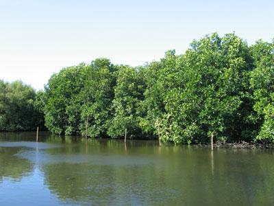 hutan bakau - Jenis Jenis Hutan Di Indonesia