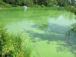 Blooming algae, peristiwa tertutupnya sungai/danau oleh ganggang.