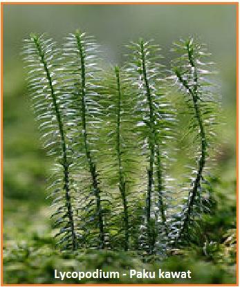 Lycopodium sp. (paku kawat) contoh paku homospora.