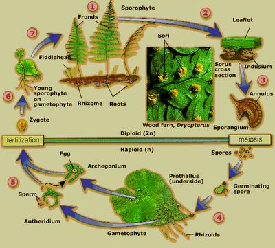 Metagenesis paku homospora.