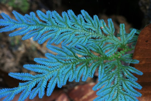 Selaginella wildenowii