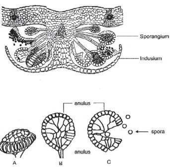 Sporangium paku